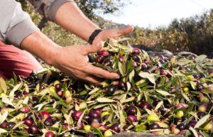 Trasferimento dei composti fenolici dalle olive all'olio extravergine durante il processo di molitura